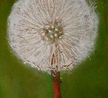 dandelion seed head by Jeremy Wallace