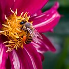 Bee-licious dahlia by Celeste Mookherjee