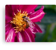 Bee-licious dahlia Canvas Print