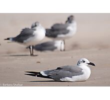 Guard Gull Photographic Print