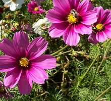 Pink Cosmos by Doreen Gilbert