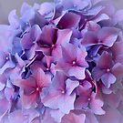 Hydrangea dreams by Celeste Mookherjee