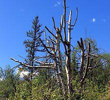 Old Birch Tree by Jim Sauchyn
