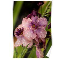 Verbascum In The Rain Poster
