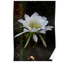 White Night Blooming Cactus  Poster