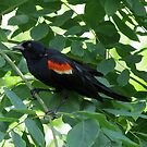 Red-wing Blackbird In Kentucky Coffee Tree by Ron Russell