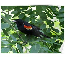 Red-wing Blackbird In Kentucky Coffee Tree Poster