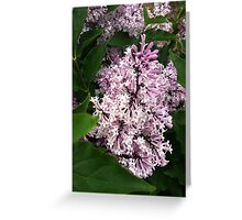 Korean lilac Greeting Card