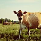 Jersey Cow by beverlylefevre