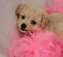 Toy Poodle Puppy in Pink Boa by Debbie-anne