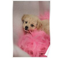 Toy Poodle Puppy in Pink Boa Poster