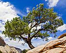 Angels Landing Bonsai, Zion NP, Utah by Kenneth Keifer