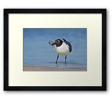 Laughing Gull Catching Pipefish. Framed Print