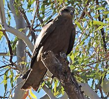 Black Kite, Milvus Migrans by Margaret  Hyde