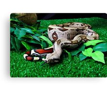 Red tailed suriname Boa constrictor Canvas Print