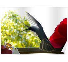 Hummingbird Series 12 Poster