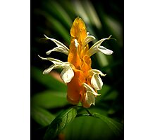Golden Shrimp Plant Photographic Print