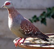 Kransduif / Speckled pigeon in my garden by Elizabeth Kendall