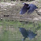 Little Blue Heron by Dennis Cheeseman