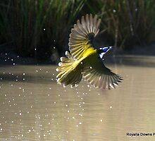 honey eater by royalla