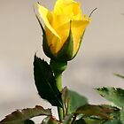 Yellow Rose of Lake Junaluska by Paula Tohline  Calhoun