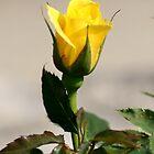 Yellow Rose of Lake Junaluska by Paula Tohline  Calhoun