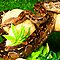 Constrictors- Boas and Pythons of the world