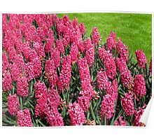 Sea of Pinks - Keukenhof Hyacinths Poster