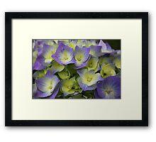 Blue Hydrangea Macrophylla Framed Print