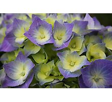 Blue Hydrangea Macrophylla Photographic Print