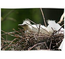 Cattle Egret Chick in Nest Poster