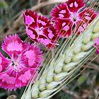 Dianthus  by Paula Tohline  Calhoun