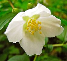 Mock Orange 1 by Shulie1