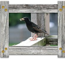 Adult Starling  by DreamCatcher/ Kyrah Barbette L Hale