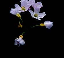 Cuckoo Flower by Photography  by Mathilde