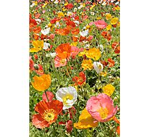 Poppy Field, Orange Pink White and Yellow flowers Photographic Print