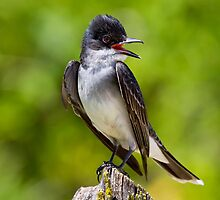 Eastern Kingbird by John Absher