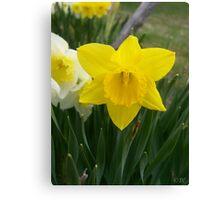 Daffodils! Canvas Print