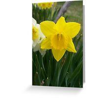 Daffodils! Greeting Card