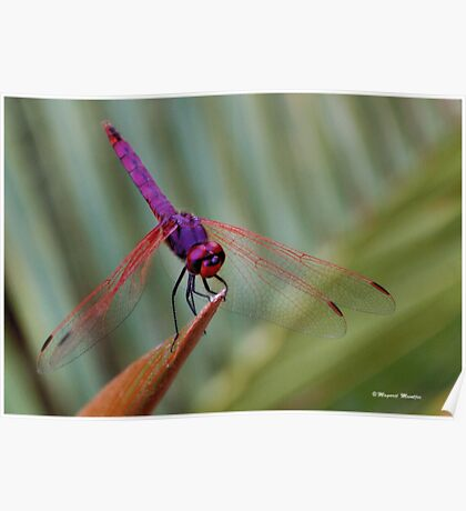 THE VIOLET DROPWING DRAGON FLY- Trithemis annulata Poster
