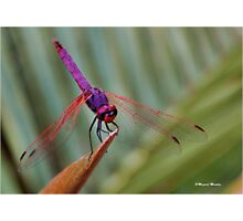 THE VIOLET DROPWING DRAGON FLY- Trithemis annulata Photographic Print