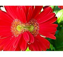 Double Bloom Gerbera Photographic Print
