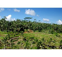 Rice Fields Photographic Print