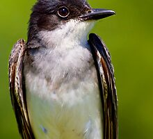 Eastern Kingbird Close Up Portrait by John Absher