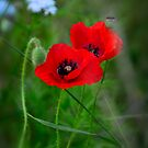 Red Poppies  by Saija  Lehtonen