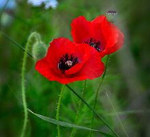 Red Poppies  by Saija  Lehtonen