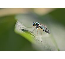 Delicate Long-legged Fly Photographic Print
