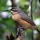 Victoria's Riflebird (Female) by triciaoshea