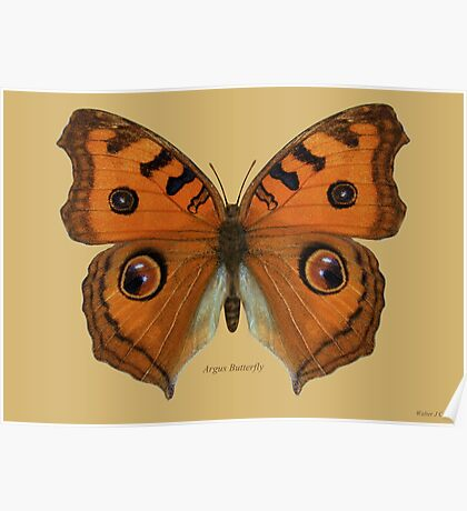 Argus Butterfly Poster