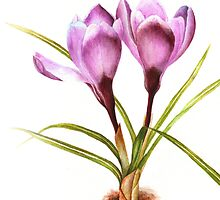 Botanical purple crocus study flower card by Sarah Trett